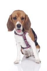 Beagle mit Brustgeschirr
