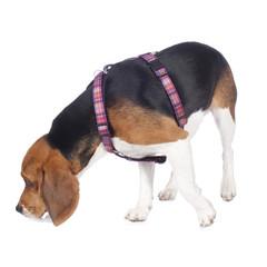Beagle schnuppert am Boden