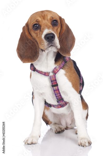 Beagle mit Brustgeschirr