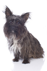 Cairn Terrier isoliert