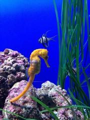 caballito de mar amarillo