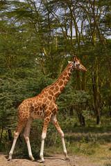 Giraffe walking in the forest