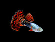 guppy  fish swimming isolated on black - 63285071