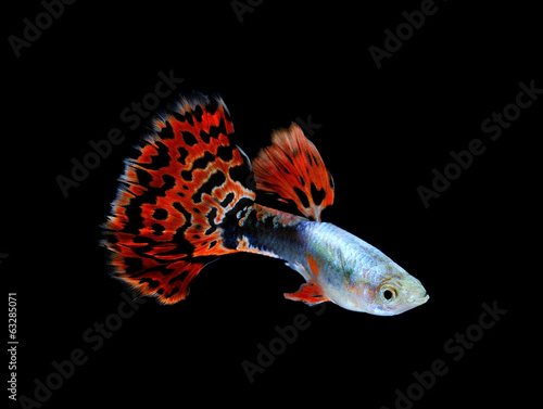 Deurstickers Pauw guppy fish swimming isolated on black