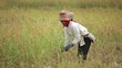 Farmer harvesting rice field