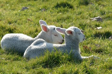 Two lambs lying in field