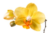 Fototapety Yellow orchid on a white background
