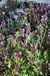 Dead nettle (Lamium purpureum) in late afternoon light