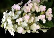 white and pink flowers of Japanese hydrangea vine