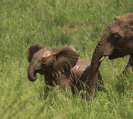 Muddy baby elephant in green grass