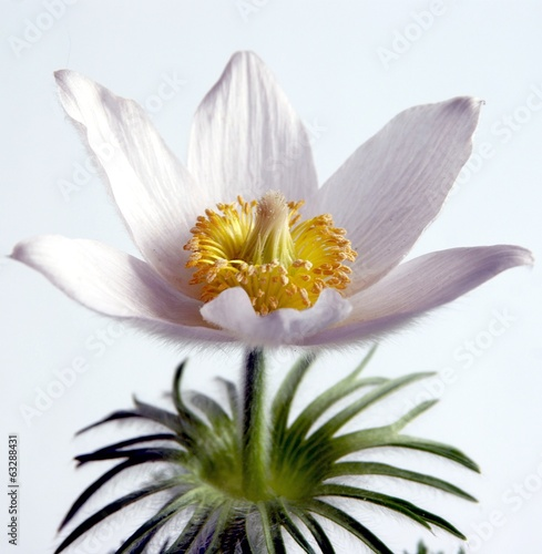 white pasque-flower blossoming