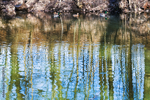 ducks and tree reflection in forest pond