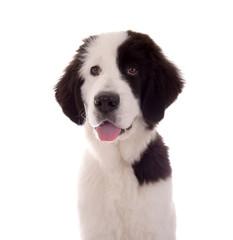 Landseer Hund Portrait