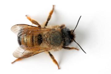 Honigbiene von oben