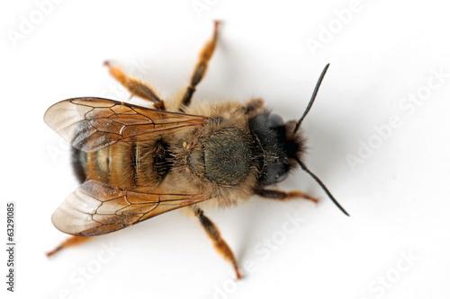 canvas print picture Honigbiene von oben