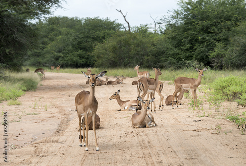 impalas on the road