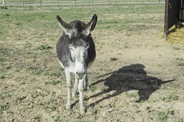 Donkey shady