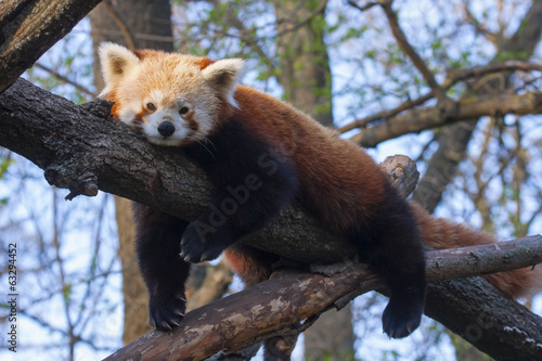 Red or lesser panda (Ailurus fulgens) is resting on a tree