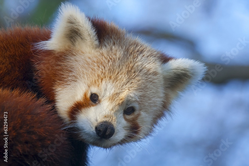 Red or lesser panda (Ailurus fulgens)