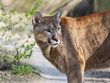 Puma or cougar (Puma concolor)