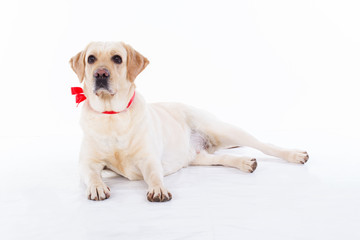 Cute labrador dog in studio