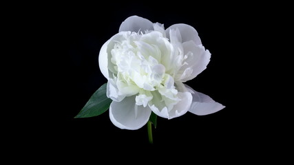 White peony flower blooming timelapse