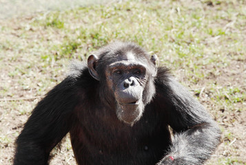 A Chimpanzee in Ol Pejeta Conservancy, Chimpanzee Sanctuary