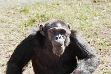 A Chimpanzee in Ol Pejeta Conservancy, Chimpanzee Sanctuary