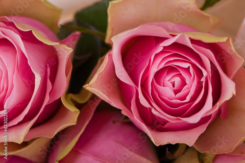 a closeup for pink roses