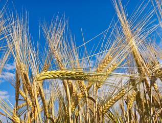 Barley ears against blue sky
