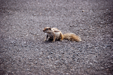 squirrel on the road in lanzarote
