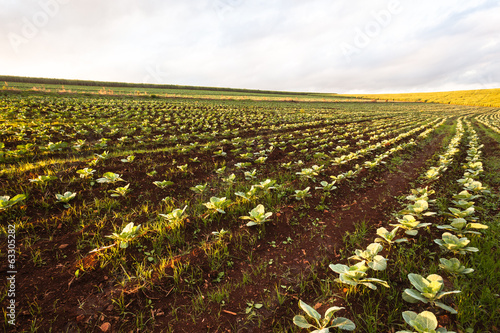 Farmlands Agriculture Vegetable Crops Summer Landscape.