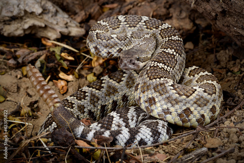 Rattlesnake coiled to strike.