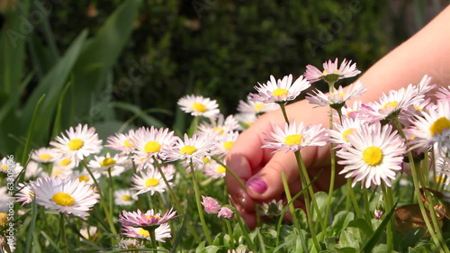 Little girl picking daisies for a bouquet, closeup