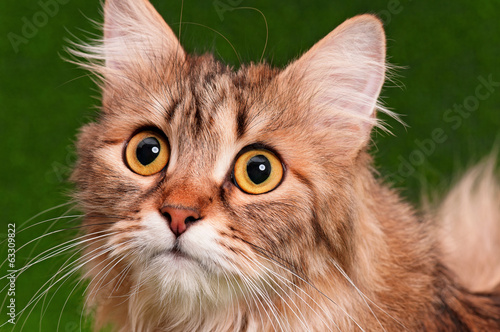 canvas print picture Cat portrait