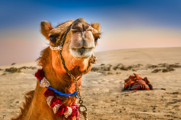 Detail of camel's head with funny expresion © Martin M303