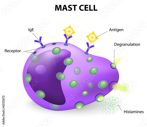 mast cell or a mastocyte, labrocyte