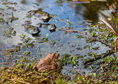 Couple of frogs joined together in a pond  in spring