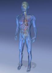 Anatomisches Modell Mann