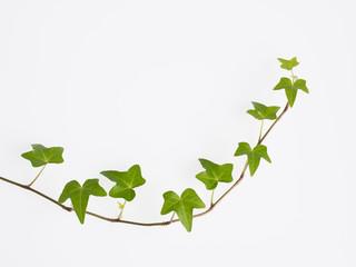伸びる蔦の葉