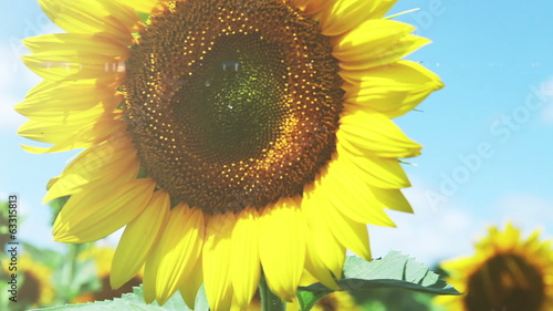 Colorful Sunflowers field and deep blue Sky