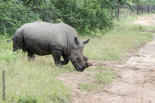 white rhino at the kruger park
