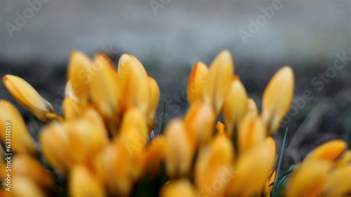 Beautiful orange crocus plant