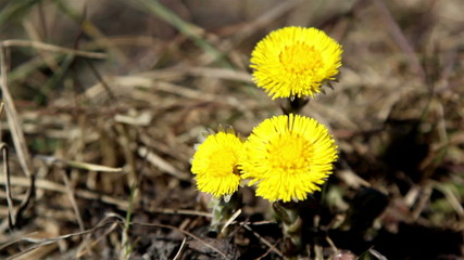 Lots of yellow coltsfoot on the ground