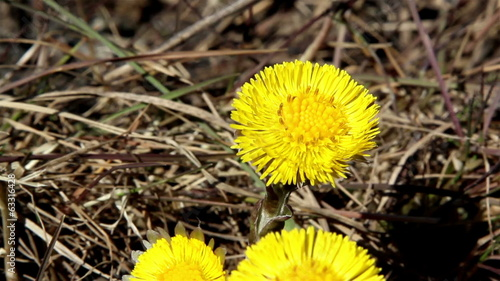 Yellow coltsfoot on the ground