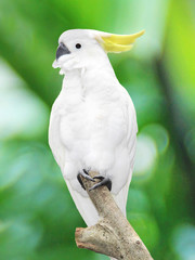 large white parrot sitting on a branch