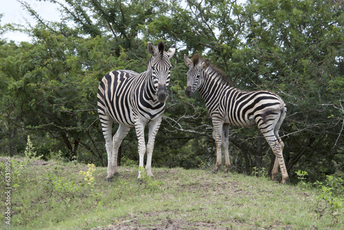 wild zebra in kruger national park