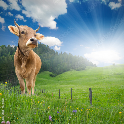 Cow standing - 63318265