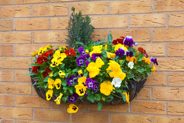Winter and spring flowering hanging basket with trailing ivy pan