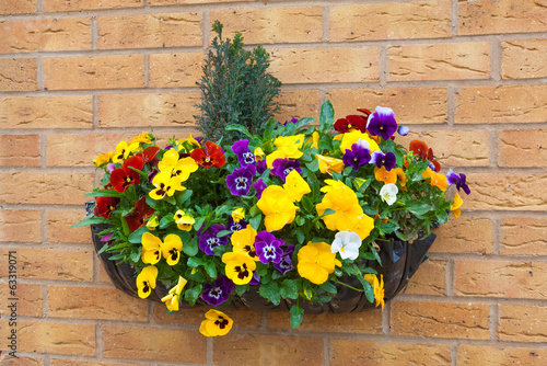 Staande foto Pansies Winter and spring flowering hanging basket with trailing ivy pan